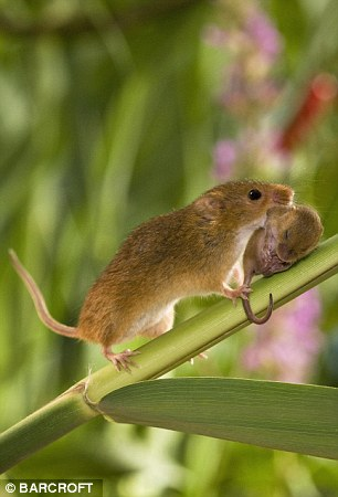 A female harvest mouse rolls her baby carefully up a plant stem towards the safety of her nest