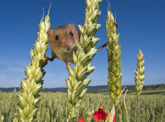 Peek-a-boo: An inquisitive mouse balances on two ears of wheat to take a close look at one of the cameras